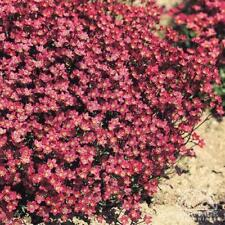 Saxifraga Purple Robe Seed Groundcover Frost Tolerant Dense Mat Summer Flowering