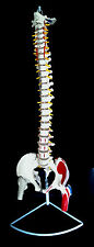 NEW Professional Life Size Human Spine Model with Femur Heads and Print Muscles