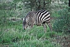"Fotoleinwand ""Kenya Wildlife - Zebra"" 20 x 30 cm (weitere Formate)"