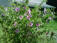 """12+ Rose Of Sharon Unrooted 8""""-10"""" Cuttings Bush/shrub Hedge Pink Flowering"""