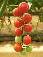 "100 Red SWEETIE CHERRY TOMATO Super Sweet 1"" Lycopersicon Fruit Vegetable Seeds"