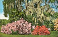 Postcard Magnolia Gardends Charleston South Carolina