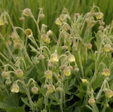 "Geum ""lemon drops"" -- 1 x pianta perenne in 9cm POT"