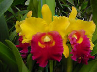 Rare orchid species seedling plant - Brassolaeliocattleya chunyeah 'good life'