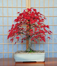 4 Bonsai Tree Postcards Japanese Pine Maple Acer Steve Greaves Art Photo Card