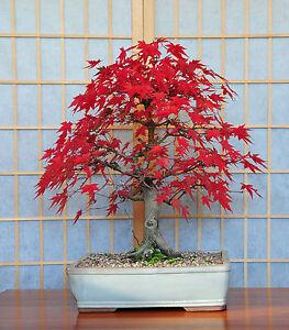 4 Bonsai Tree POSTCARDS Japanese Pine Maple Acer Steve Greaves Art Photo Cards