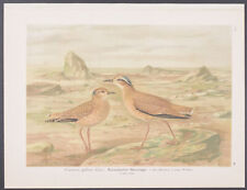 Naumann & Keulemans - Courser. 10 - 1897 Bird Chromolithograph