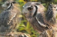 Fine Art Quality Postcard, White Faced Owl Photography by Ian Rabjohns CK9