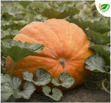 Calabaza Gigante Atlantic Giant - 20 semillas - seeds