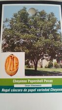 CHEYENNE PAPERSHELL PECAN TREE Shade Trees Live Healthy Plant Large Pecans Nuts