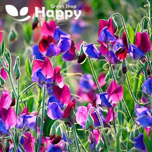 Sweet Pea - Old Spice - Cupani - 20 seeds - Lathyrus odoratus - Annuals Flower