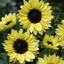 Sunflower- Moonshine- Helianthus Annus- 100 Seeds