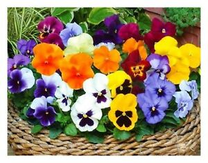 9 Pansy Mix Autumn Winter Spring Flower Bedding Large Garden Ready Plug Plants