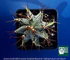 ASTROPHYTUM ORNATUM Vq 7X7X10 1 Pianta plant cactus astrofito