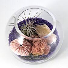 Air plant Kit glass Terrarium with Pink sea urchin, Rose Quartz & Red Ionantha