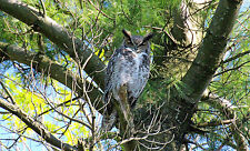 GORGEOUS GREAT HORNED OWL FINE ART GREETING CARD