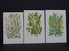 Anne Pratt Botanical, c.1899, Original Color, 3 Prints! English #22