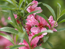 2 graines d' AMANDIER NAIN DE RUSSIE (Prunus Tenella) G877 SEEDS SAMEN SEMILLAS