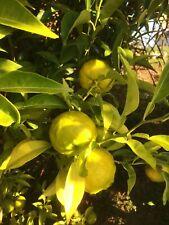 Yuzu - citrus - citronnier du Japon - 1 plant en godet