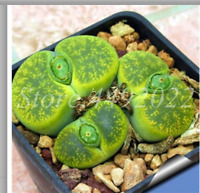 100seeds / bag Real Mini Succulent Cactus Bonsai Rare Succulent Perennial Herb