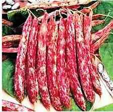 Bean Bush Borlotti Red Rooster 30 Vegetable Seeds