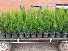Edel Thuja Smaragd Lebensbaum,80-100cm Topf gewachsen Qualität