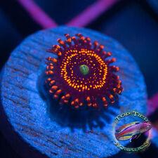 New listing Illuminati - Wysiwyg Live Coral Frag- Top Tier Aquatics