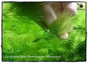 5 x Ceratophyllum Demersum - Hornwort - Live Aquarium Oxygenating Pond Plant