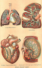 Framed Print - Vintage Human Internal Organs (Picture Medical Heart Lungs Art)