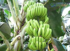 100pcs/bag imported banana seeds uk milk taste beautiful delicious fruit seeds