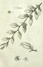 Paliurus Porta-cappello Botanica Geoffroy Garsault Incisione XVIII