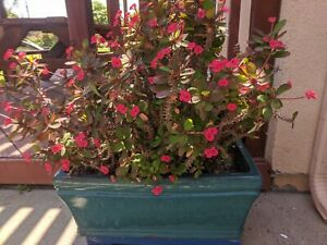Euphobia Milii Crown of Thorns Succulent Cactus 2 cuttings