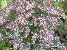 Aster lateriflorus var. horozontalis - 1 PLANT - FREE P/P WHEN YOU BUY 3+ ITEMS