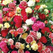 100++ CARNATION DIANTHUS CHABAUD MIX SEEDS CUTTINGS FREE SHIPPING DOUBLE BLOOMS!