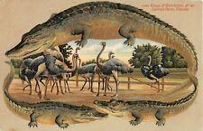 c.1908 Alligator Border Ostriches at Ostrich Farm Fl post card