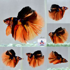 Live Betta Fish JU31 Fancy Nemo Half Moon Large Tail Premium Grade Male