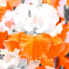 Fragrance Mix 2 Iris Bulbs Perennial Resistant Rare Home Decor Rhizomes Gifts