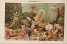 1894 MARINE SEA ANEMONES Antique Chromolithograph Print C.Merculiano