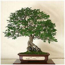 50 semillas Zelkova serrata,olmo japonés , semillas bonsai S