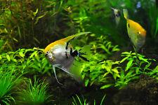 4 Töpfe (4,98€/Stk.) Set Südamerika Wasserpflanzen, Aquariumpflanzen im Topf