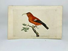 Scarlet Creeper - 1783 RARE SHAW & NODDER Hand Colored Copper Engraving
