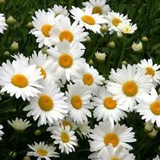 New ListingAlaska Shasta Diasy Flower Seeds | Planting Instructions Included | Fresh Garden