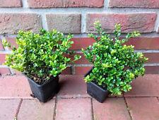 50 Stück Ilex crenata Glorie Gem-Pflanzen, Höhe: 10-15 cm, Alternative Buchsbaum