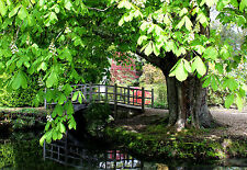 3 Aesculus hippocastanum / Horse Chestnut 40-60cm Tall, Stunning Flowering Trees