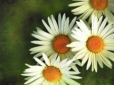 OXEYE DAISY YELLOW WHITE FLOWER PHOTO ART PRINT POSTER PICTURE BMP1089A