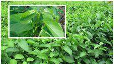 10 seeds Gymnema inodorum, ASCLEPIADACEAE, Chiang Dao Thailand herbs Lower sugar