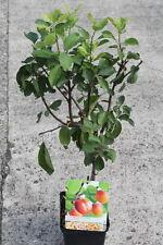 Dwarf Patio Fruit Tree- Plum- Variety Victoria - Approx 75cm Tall