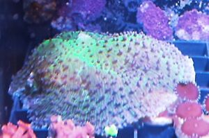Large Elephants Ear Mushroom Coral Marine corals frag frags reef soft lps sps