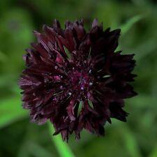 200 Graines de Bleuet Noir Boule /BALL BLACK/CENTAUREA Cyanus/Fleur Mellifère