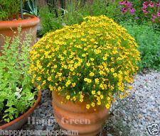 SIGNET MARIGOLD - Lemon Gem - 600 SEEDS  - Tagetes tenuifolia - BALCONY